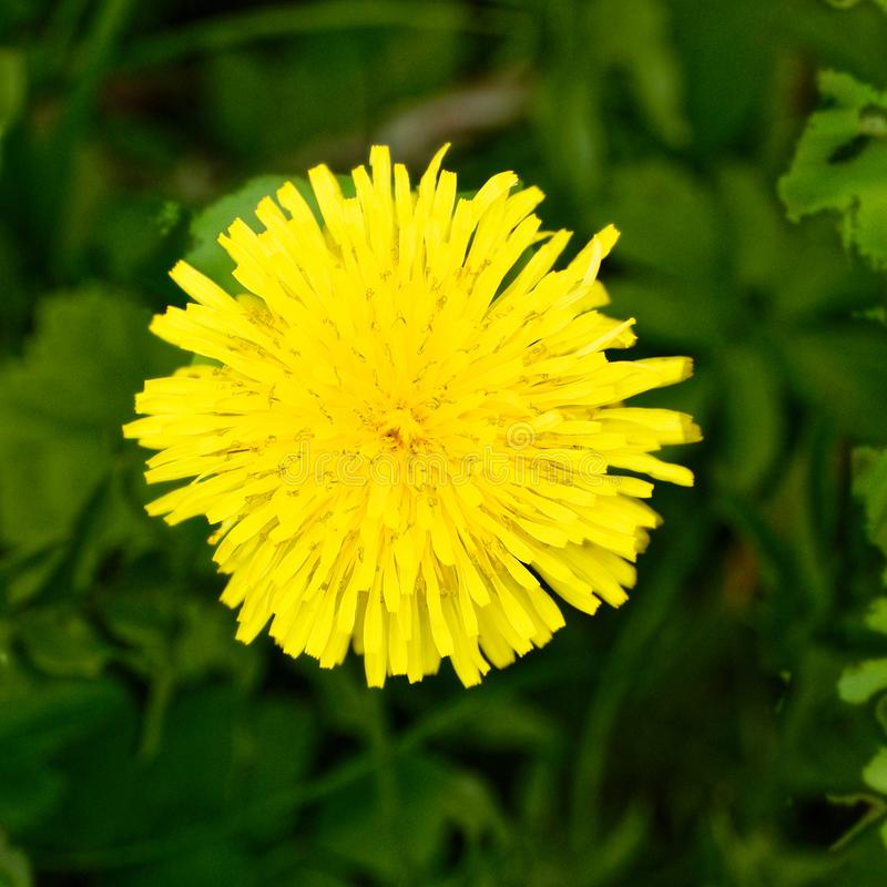 Single Dandelion Flower Grass Close Up Stock Images