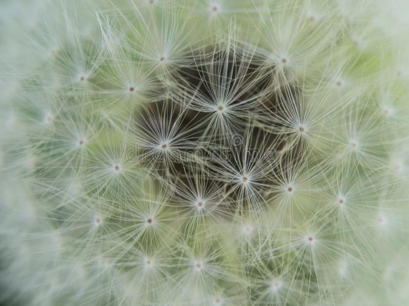Dandelion seedhead close up top view stock image