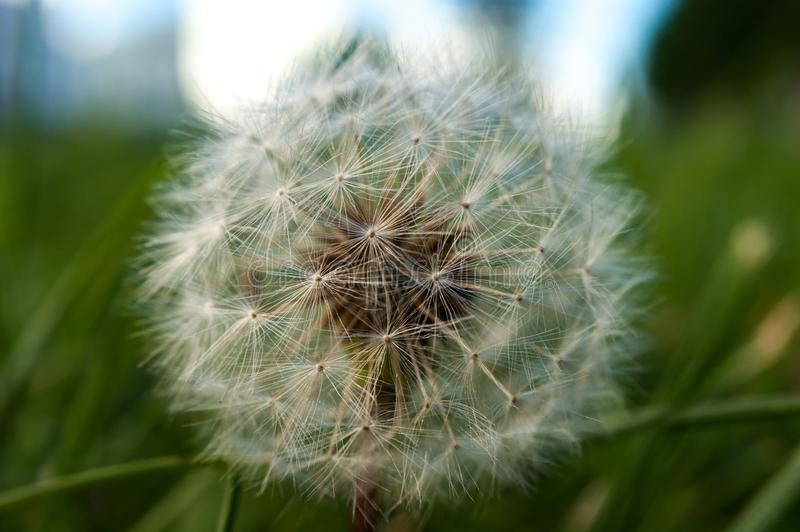 A single dandelion on green and blue background in early fall royalty free stock images