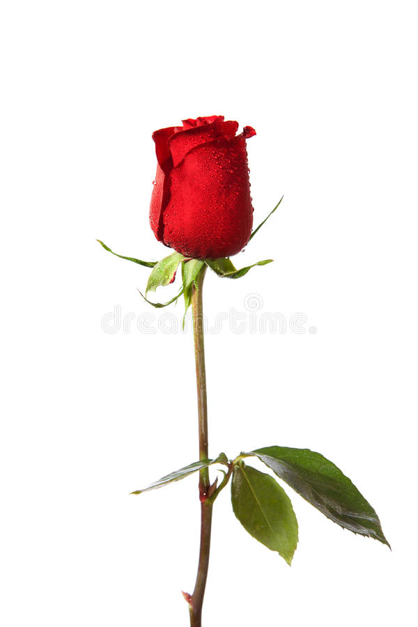 Single dark red rose. With water drops isolated on white stock images
