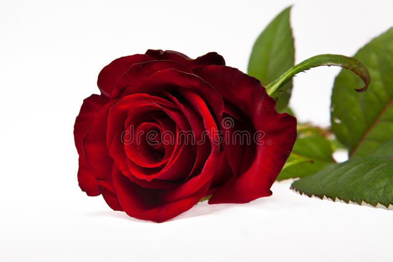 Beautiful Single Red Rose Flower Isolated Royalty Free: Single Dark Red Rose Flower Stock Photos