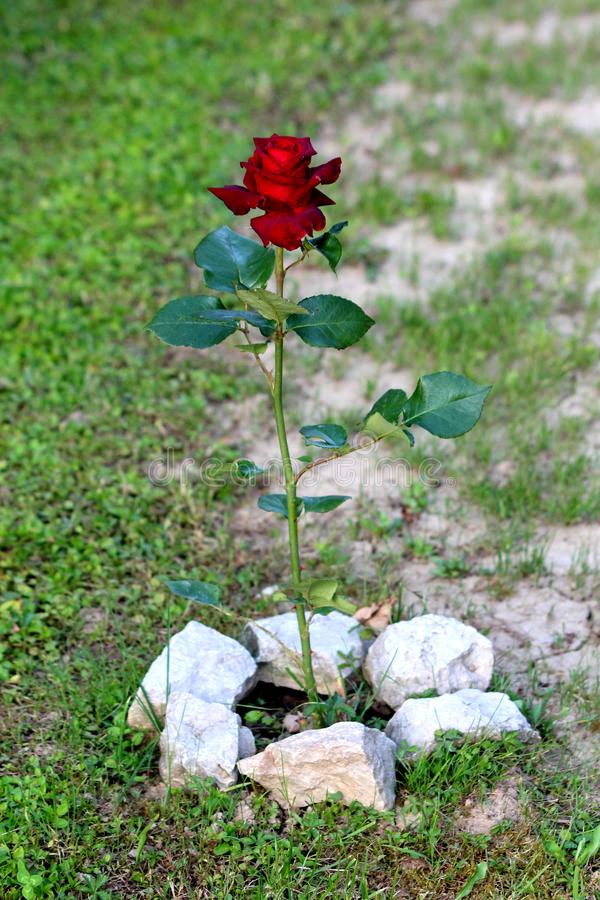 Single dark red rose growing tall in family house backyard surrounded with white rocks and freshly cut grass royalty free stock photography