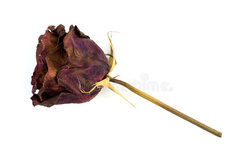 Single dead dried rose flower isolated on white. Background royalty free stock photo