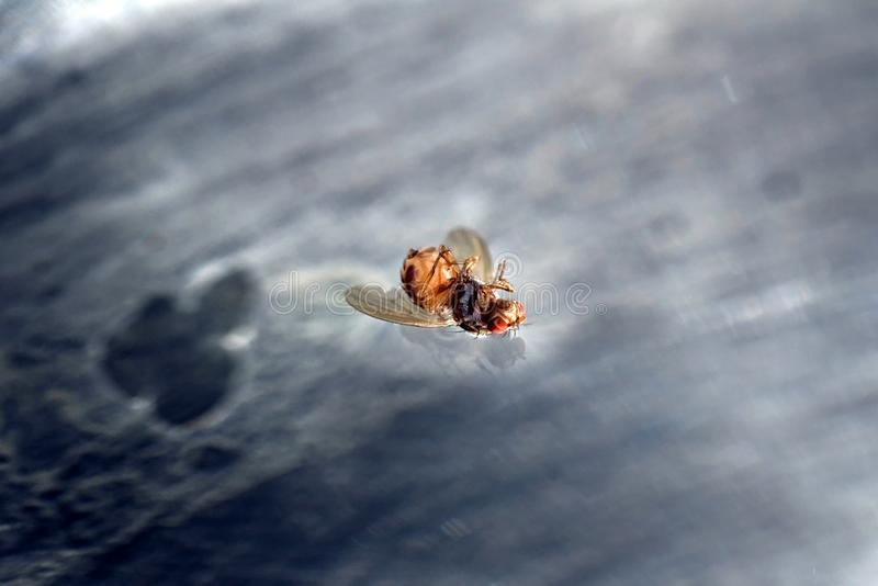 Dead fly floating upside down on water surface stock image