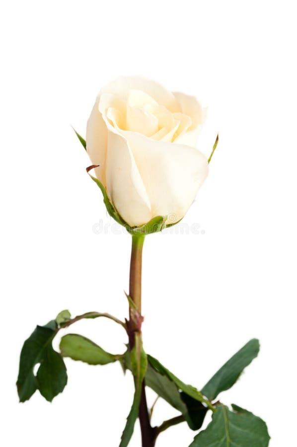Free Single Delicate Yellow Rose Stock Photo - 18201900