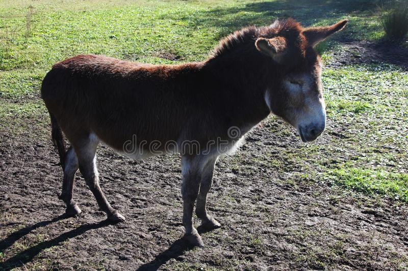 Single donkey. Looking to the side stock photos