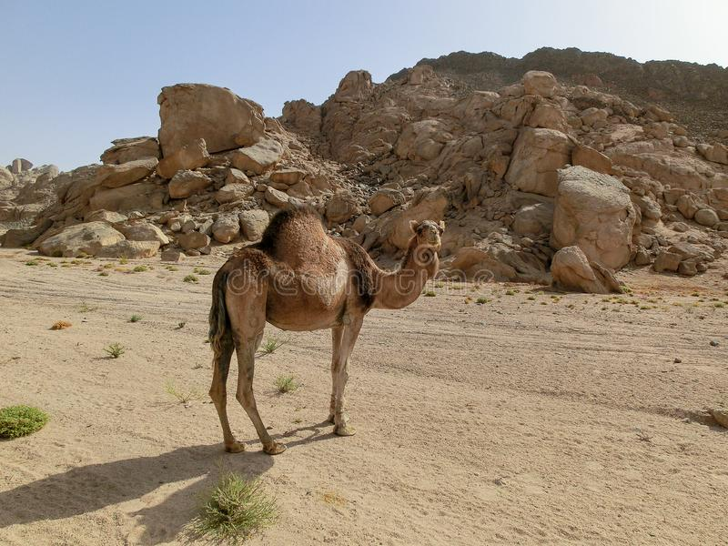 Single dromedary in a dessert in Egypt with mountains and a lot of plastic rubbish, sharm el sheikh. Single camel in a dessert in Egypt with mountains and a lot stock photos