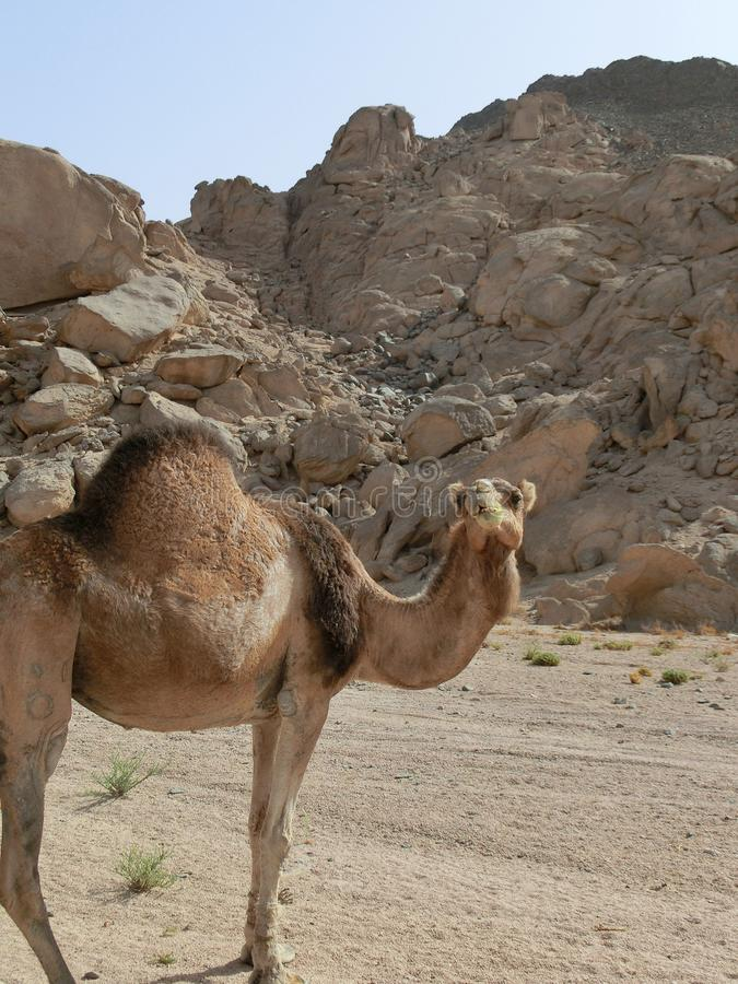 Single dromedary in a dessert in Egypt with mountains and a lot of plastic rubbish, sharm el sheikh. Single camel in a dessert in Egypt with mountains and a lot stock photography
