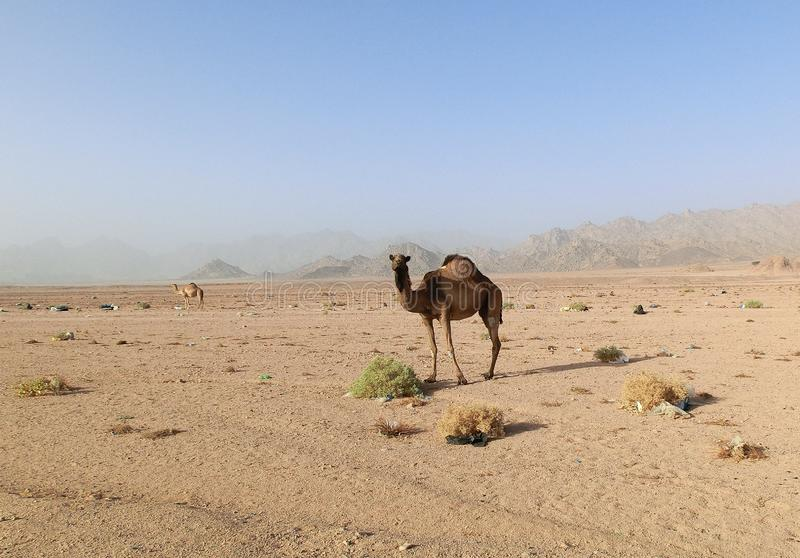 Single dromedary in a dessert in Egypt with mountains and a lot of plastic rubbish, sharm el sheikh. Single camel in a dessert in Egypt with mountains and a royalty free stock image