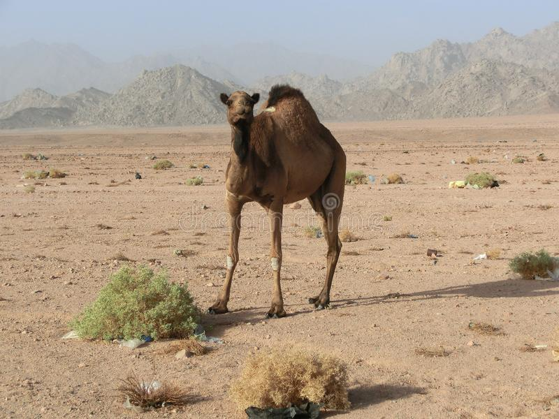 Single dromedary in a dessert in Egypt with mountains and a lot of plastic rubbish, sharm el sheikh. Single camel in a dessert in Egypt with mountains and a lot royalty free stock image