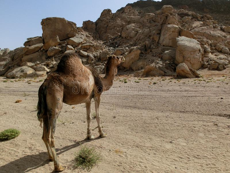 Single dromedary in a dessert in Egypt with mountains and a lot of plastic rubbish, sharm el sheikh. Single camel in a dessert in Egypt with mountains and a lot royalty free stock photography