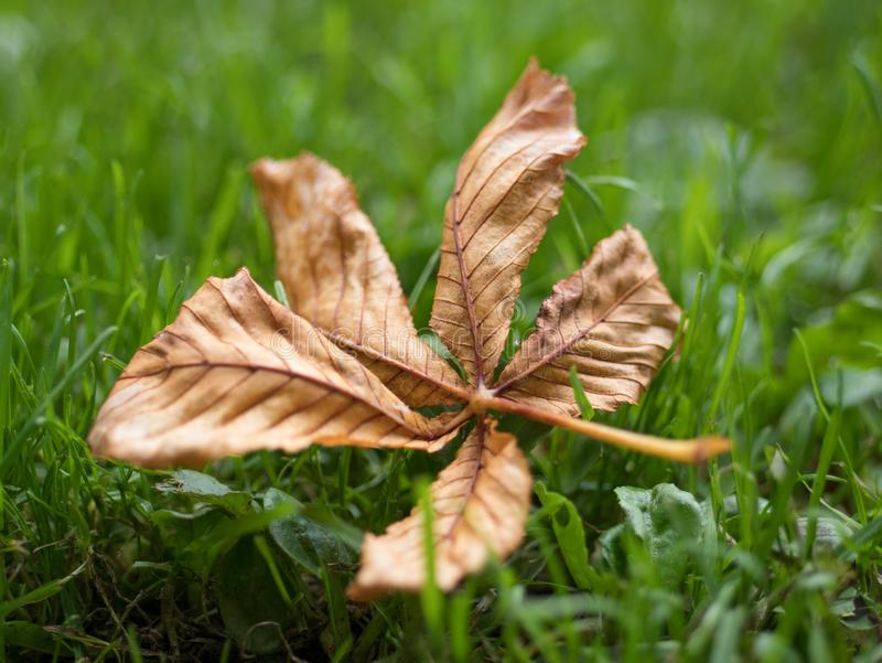 Single dry brown dry leaf on the ground in autumn / fall royalty free stock photography