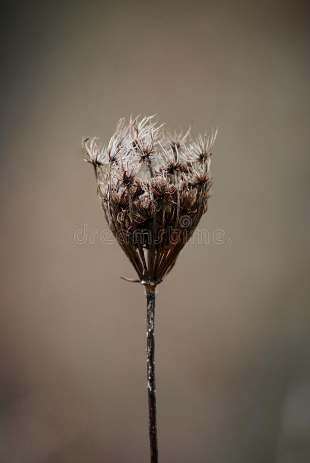 Single dry flower. Picture of a single dry flower in the foreground with a light and dark solid background stock photo