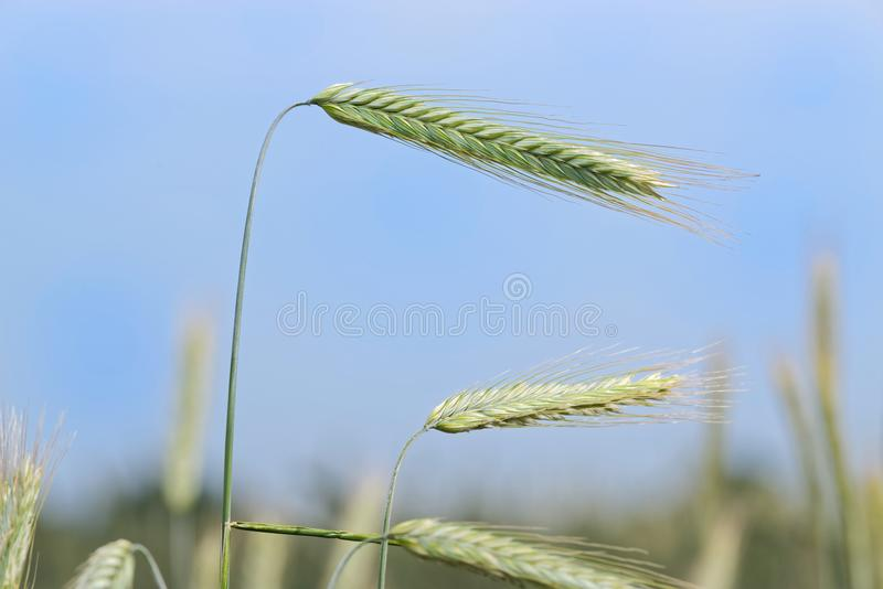 Single ear of cereal plant against blue sky. Single ear of cereal plants against blue cloudy sky. Germany stock photo