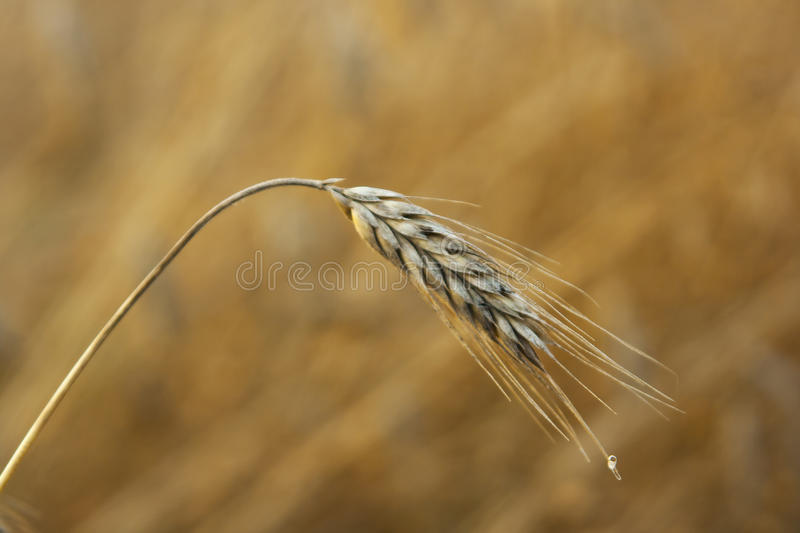 A single ear of ripening barley in a field in Northern Ireland. In August royalty free stock image