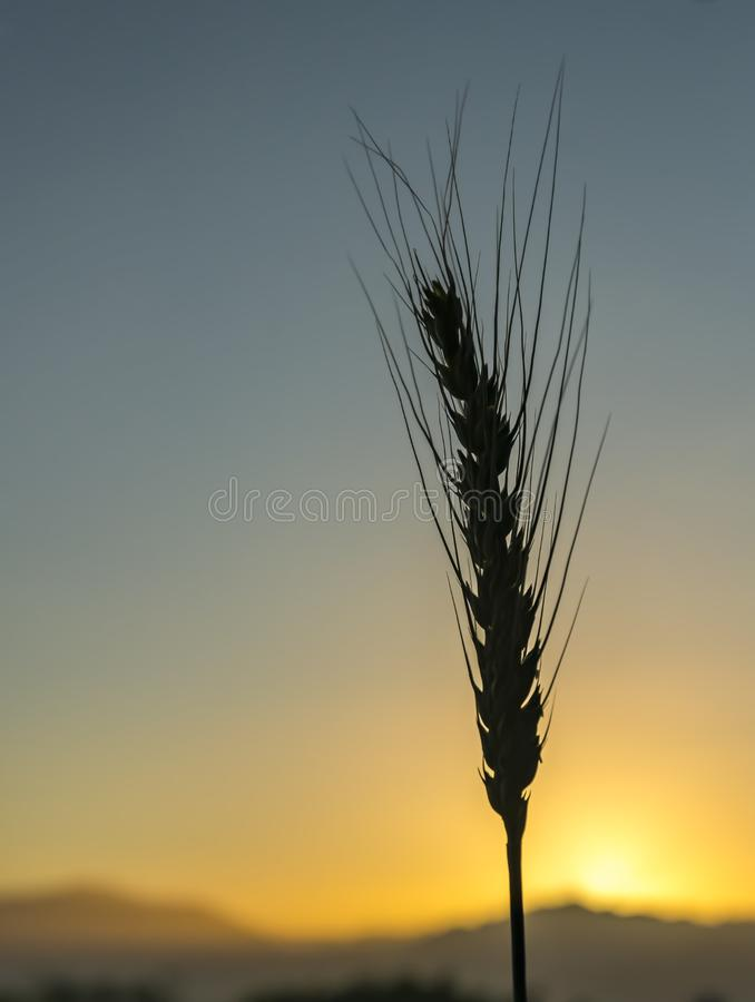 Single ear of wheat. Against the rising sun above Jordanian mountains stock photography