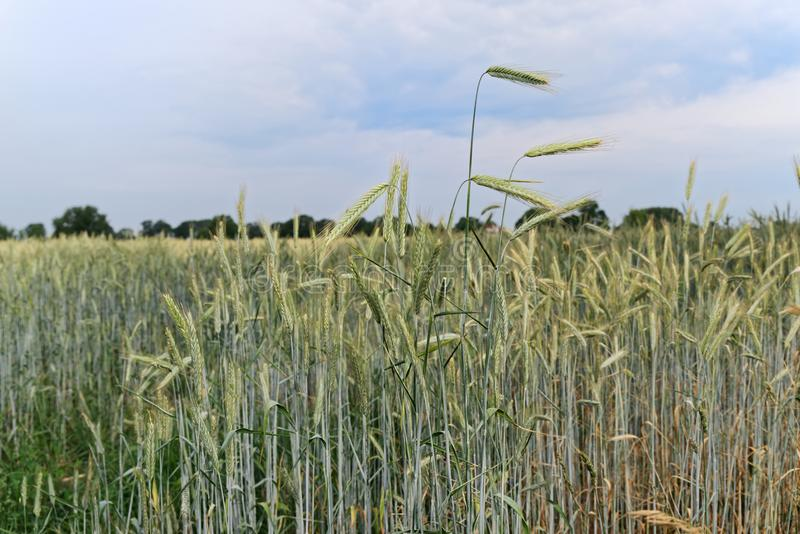 Single ears of cereal plants against blue cloudy sky. Germany stock image