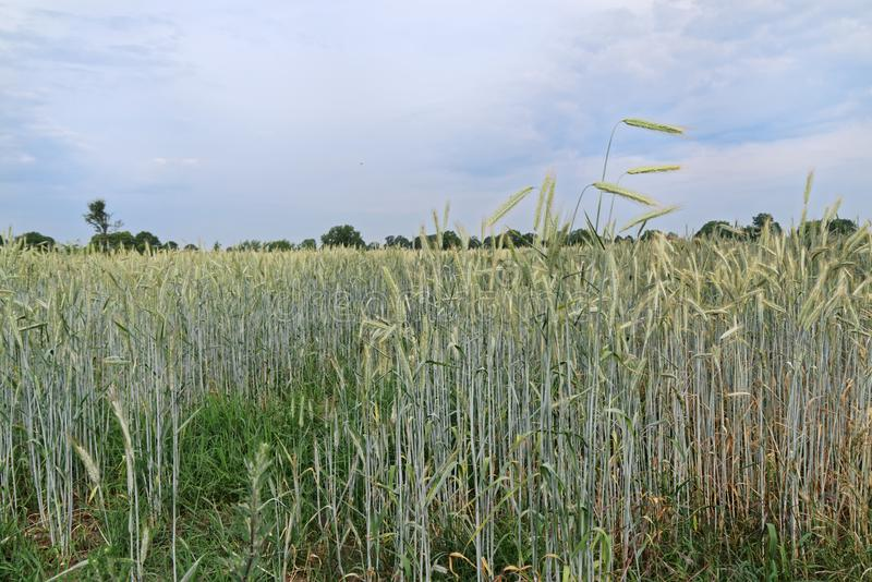 Single ears of cereal plants against blue cloudy sky stock photo