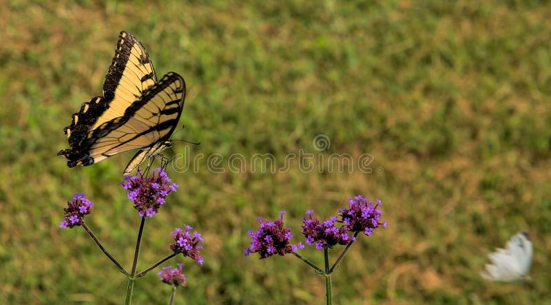 Eastern Tiger Swallowtail Butterfly Feeding on Nectar stock photo