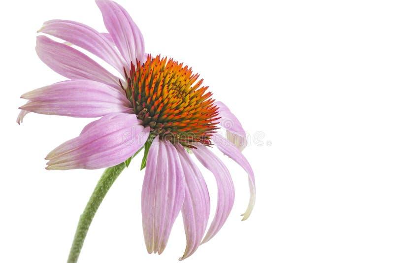 Single echinacea flower stock image