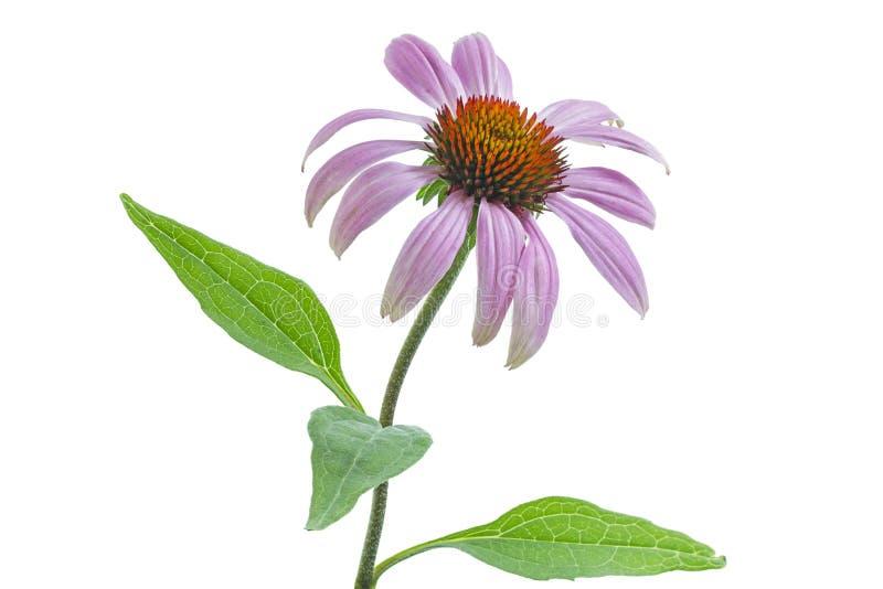 Single echinacea flower royalty free stock photo