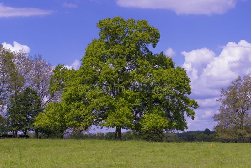 Oak Tree Quercus Robur royalty free stock photography