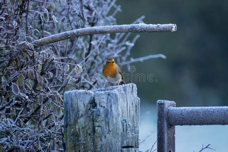 A single european robin sitting on a frosty fence post on a cold winter morning royalty free stock photo