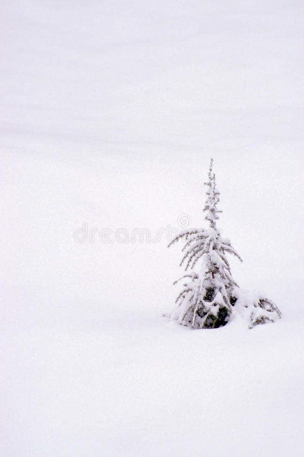 Download Single Evergreen In Fresh Snow Stock Image - Image: 28946249