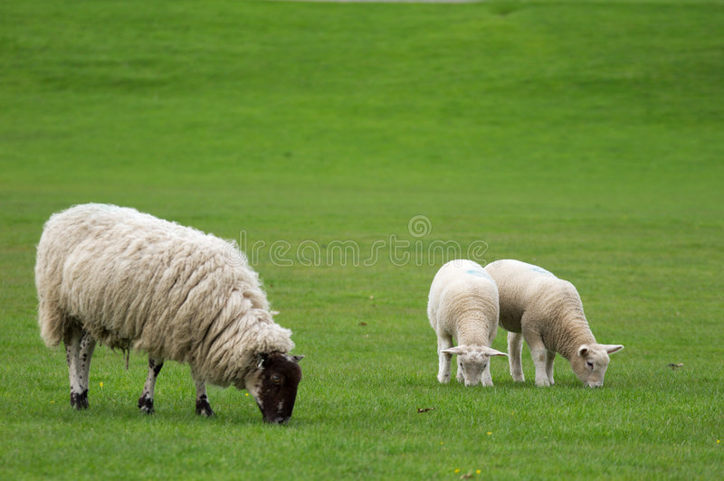 Single Ewe and two lambs grazing in a field. A single ewe with her two lambs alongside in a grass field, grazing and away from other animals. The animals are stock image