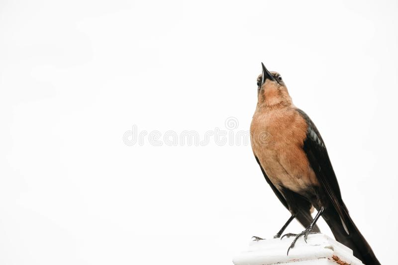 Boat-tailed female grackle on a white background, in Florida royalty free stock photos