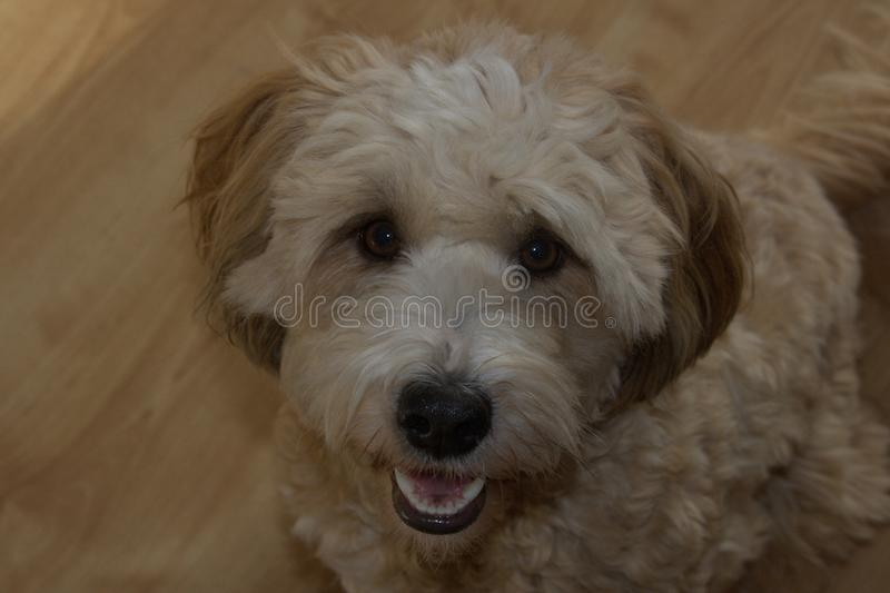 Single female cute dog tibet terrier stock image