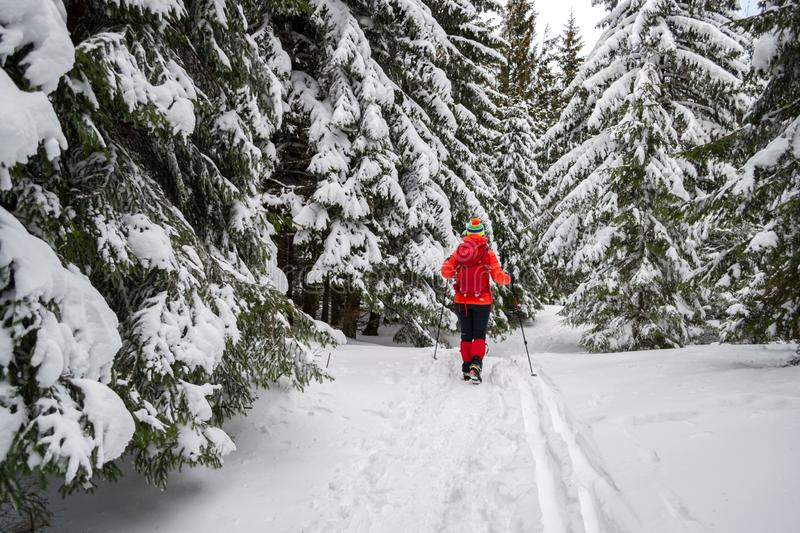 Single female tourist on a Winter snowy hiking trail, going pass snow covered fir trees, alongside ski tracks on the ground stock images