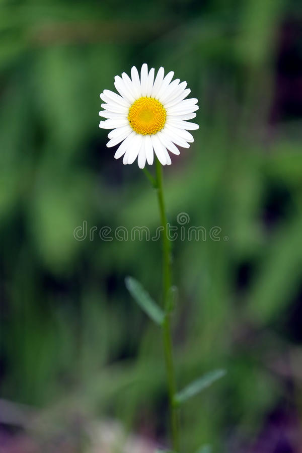 Single field daisy flower blossom on green blur background stock photography