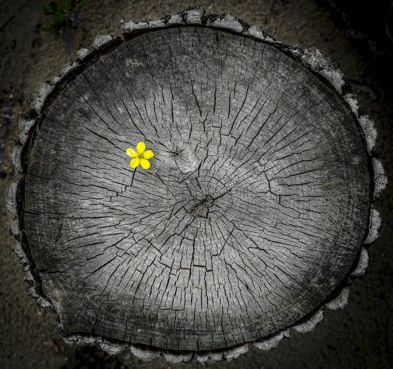 Single Field Mustard Flower on Tree Stump. royalty free stock image