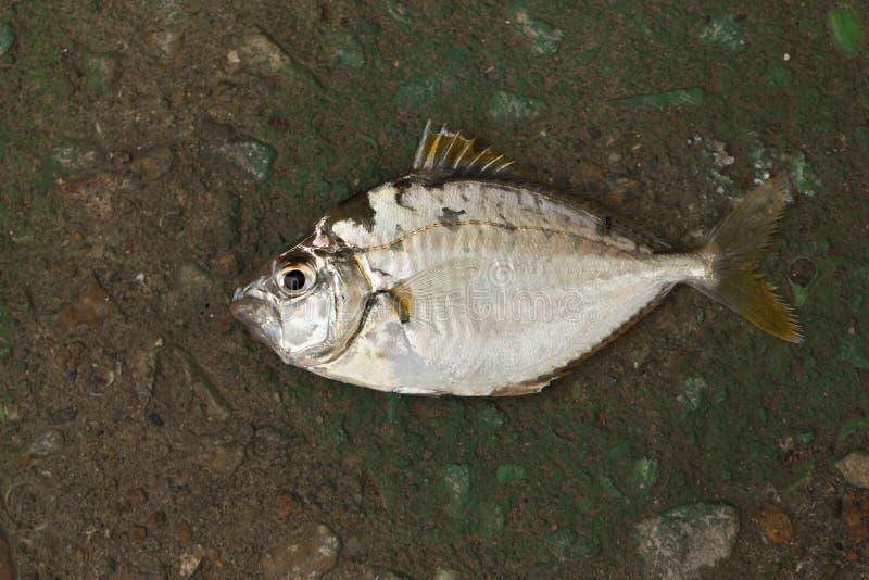 Single fish on the ground