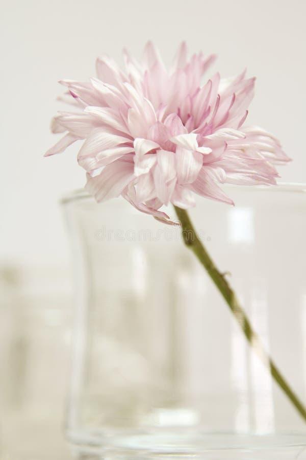 A single flower. royalty free stock photos