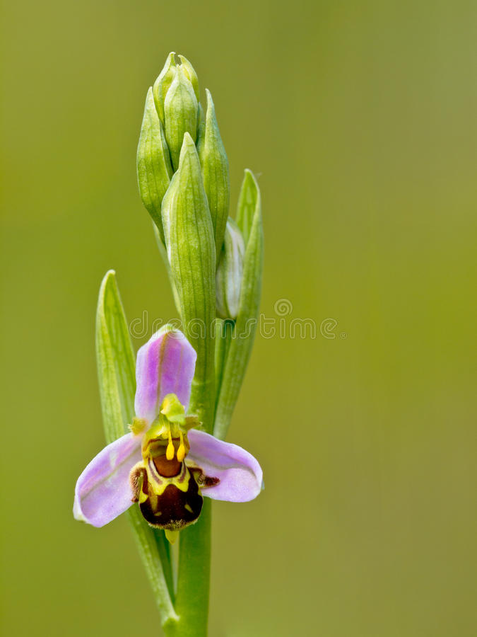 Single Flower Of Bee Orchid Stock Images