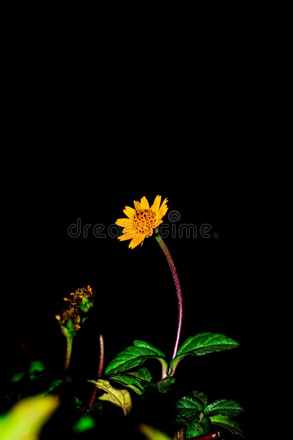 Single flower with black background wallpaper. royalty free stock image
