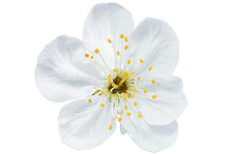 Single flower of cherry isolated on white background stock image download single flower of cherry isolated on white background stock image image of mightylinksfo