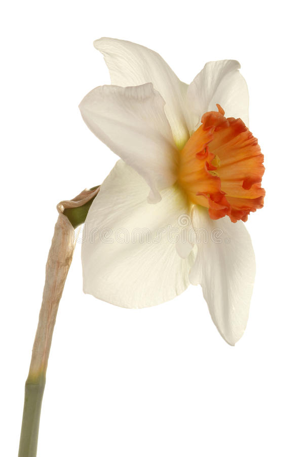 Single flower of a daffodil cultivar stock image