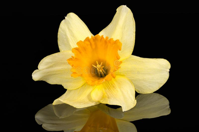 Single flower of daffodil Narcissus on black background royalty free stock photography