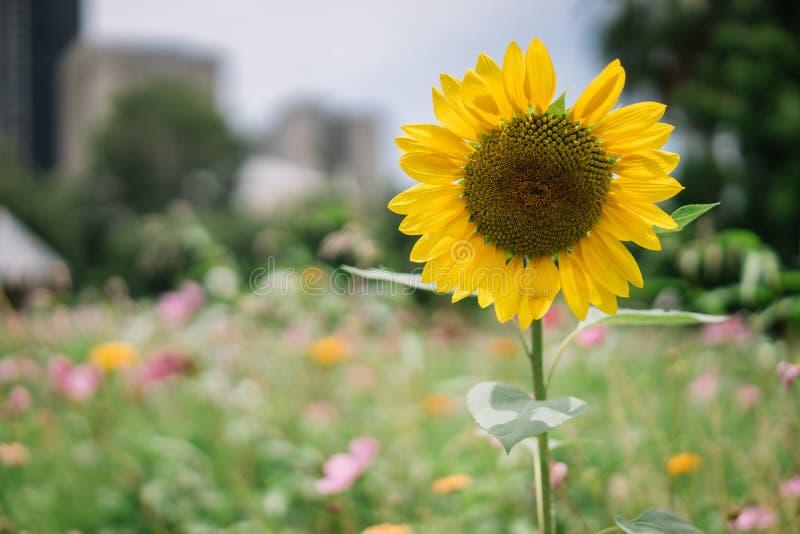 A Single Sunflower Flower in a field stock photos