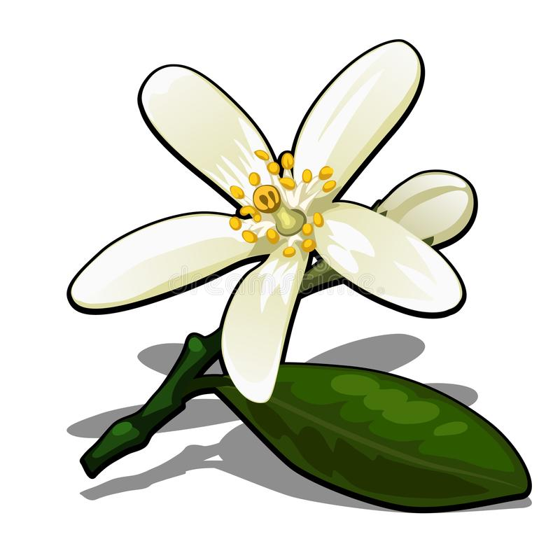 Single flower of lemon tree isolated on a white background. Flowering tree branches in the orchard. Vector cartoon close vector illustration