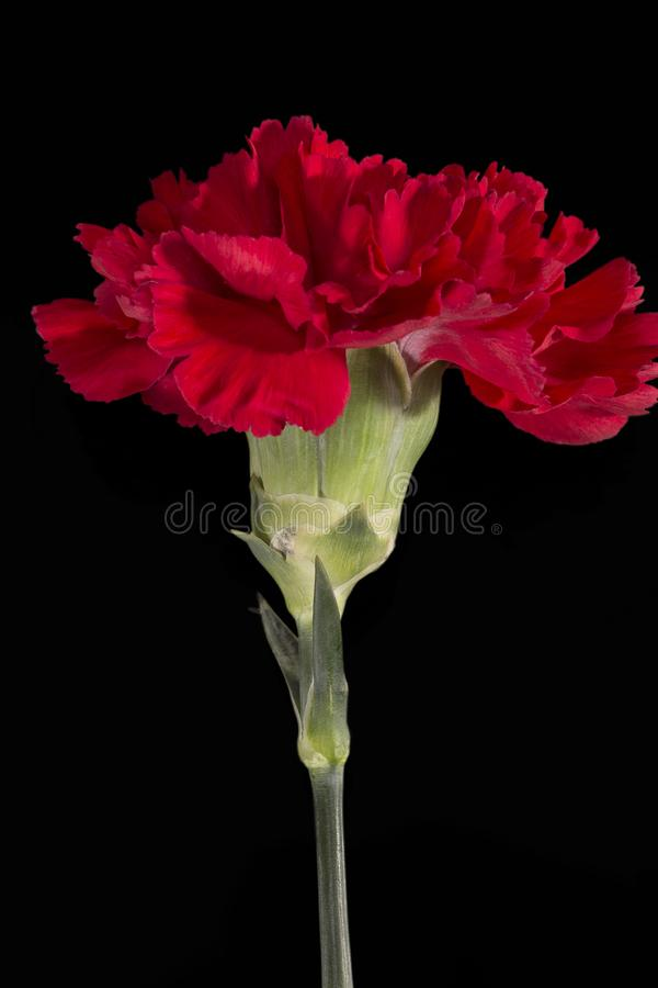 Single flower of red carnation Dianthus on black background, close up. Single flower of red carnation Dianthus on black background, close up stock photos