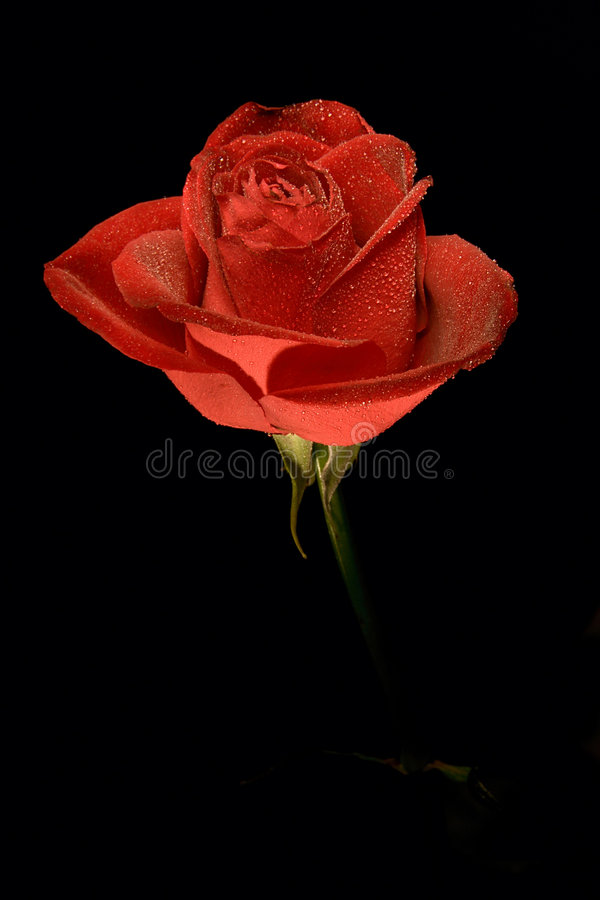 Single flower roses royalty free stock photography