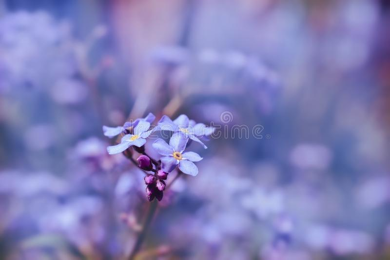 Single forget-me-not flower on blue background royalty free stock photos