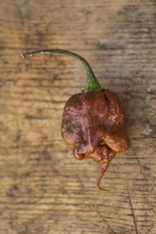 Single fresh brown trinidad scorpion chili pepper stock images