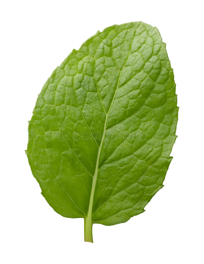 Single Fresh Mint Leaf royalty free stock photography