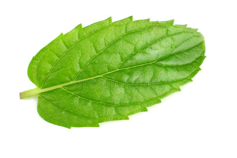 single fresh mint leaf isolated on white background royalty free stock images