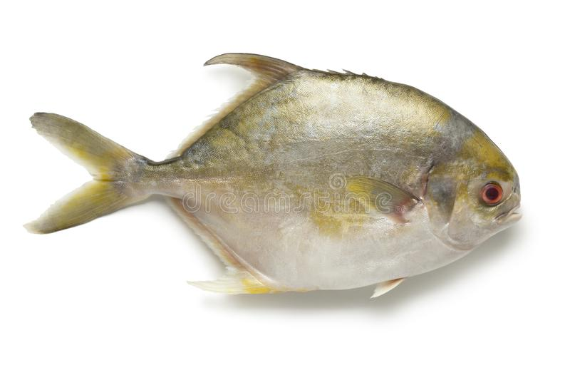 Single fresh raw golden pomfret fish stock image